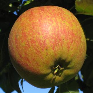 Viljapuud ja marjapõõsad, Õunapuu, Cox Orange Renett
