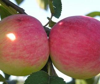 Viljapuud ja marjapõõsad, Õunapuu, Doc Melba