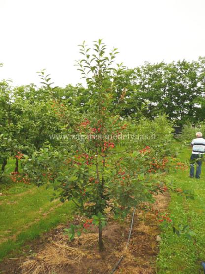 Viljapuud ja Marjapõõsad, Hapukirsipuu, Tamaris