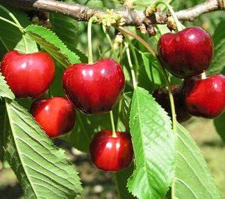 Viljapuud ja Marjapõõsad, Kirsipuu, Magus kirsipuu, Eva