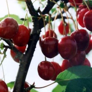 Viljapuud ja Marjapõõsad, Hapukirsipuu, Turgenevka