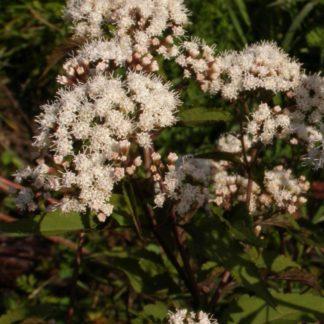 Lilled, Vesikanep, Nõgeselehine vesikanep, Chocolate