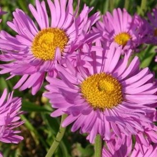 Lilled, Aster, Alpi aster, Happy End