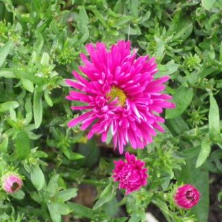 Lilled, Aster, Madal aster, Jenny