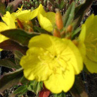 Lilled, Kuningakepp, Põõsasjas kuningakepp