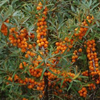 Viljapuud ja Marjapõõsad, Astelpaju, Lord