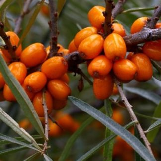 Viljapuud ja Marjapõõsad, Astelpaju, Tatjana