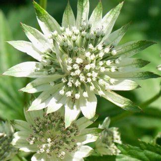 Lilled, Tähtputk, Suur Tähtputk, Shaggy