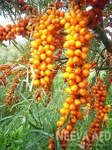 Viljapuud ja Marjapõõsad, Astelpaju, Maria