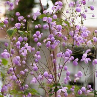 Lilled, Ängelhein, Delavay ängelhein, Splendide