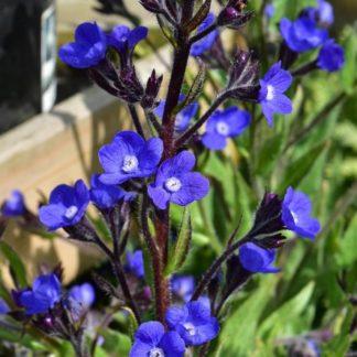Lilled, Imikas, Itaalia imikas, Loddon Royalist