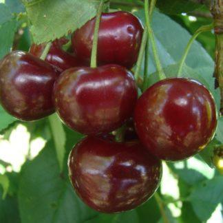 Viljapuud ja Marjapõõsad, Hapukirsipuu, Pandy