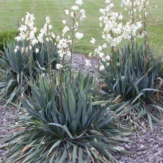 Lilled, Tääkliilia, Kiuline tääkliilia