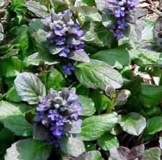 Lilled, Aubrieeta, Akakapsas, Roomav akakapsas, Gatlin's Giant