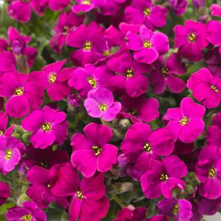 Lilled, Aubrieeta, Aedaubrieeta, Audrey Red