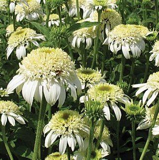 Lilled, Siilkübar, Purpur-siilkübar, White Double Delight
