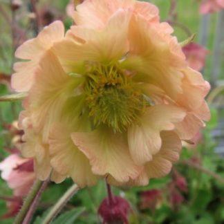 Lilled, Mõõl, Aedmõõl, Apricot Pearl