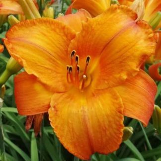 Lilled, Päevaliilia, Aed-päevaliilia, Mauna Loa