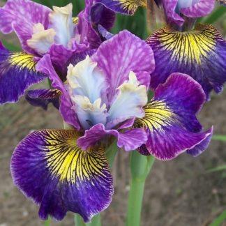 Lilled, Iiris, Võhumõõk, Siberi Võhumõõk, Charming Billy