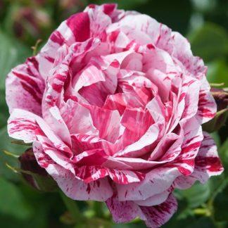 roos, Roosid, Põõsasroosid