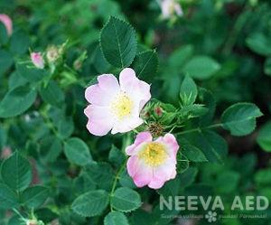 kibuvits, roosid, pargiroosid