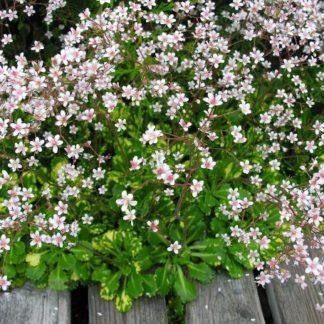 Lilled, Kivirik, Linnakivirik, Aureopunctata
