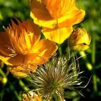 Lilled, Kullerkupp, Hiina kullerkupp, Goldkönigin