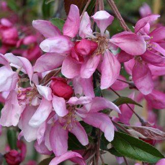 Lehtpuud ja -Põõsad, Iluõunapuu, Cheal's Weeping