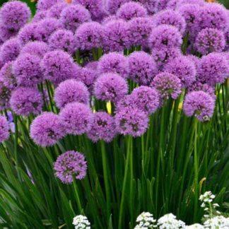 Lilled, Lauk, Hübriidlauk, Millenium