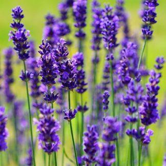 Lilled, Lavendel, Tähklavendel, Hidcote Blue