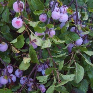 Viljapuud ja marjapõõsad, Aed-ploomipuu, Polli Viljakas