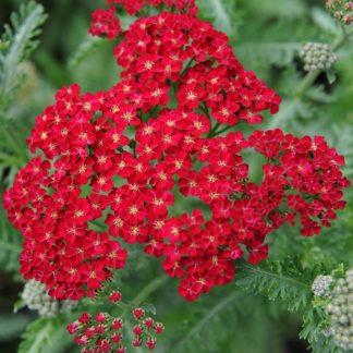 Lilled, Raudrohi, Rodgersia,