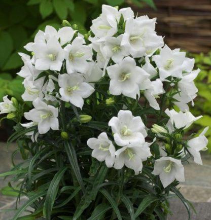 Lilled, Kellukas, Suureõieline kellukas, Takion White