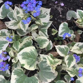 Lilled, Brunnera, Suurelehine Brunnera, Variegata