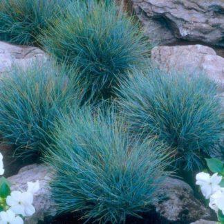 Lilled, Kõrrelised, Hall aruhein, Elijah Blue