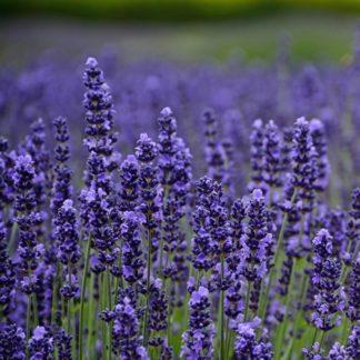 Lilled, Lavendel, Tähklavendel, Munstead
