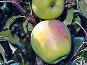 Viljapuud ja marjapõõsad, Õunapuu, Silva