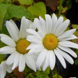 Lilled, Härjasilm, Harilik Härjasilm, May Queen