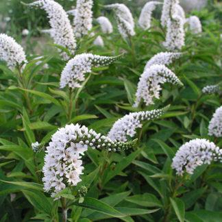 Lilled, Metsvits, Longus metsvits