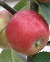Viljapuud ja marjapõõsad, Õunapuu, Amorosa