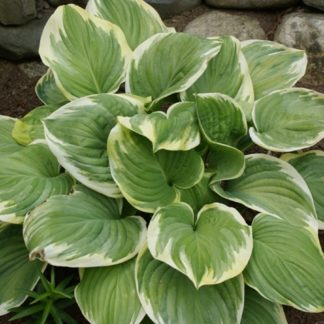 Lilled, Hosta, Fragrant Dream