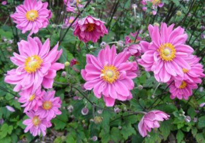 Lilled, Ülane, Hubei ülane, Prinz Heinrich