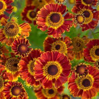 Lilled, Heleenium, Aedheleenium Mariachi™, Fuego