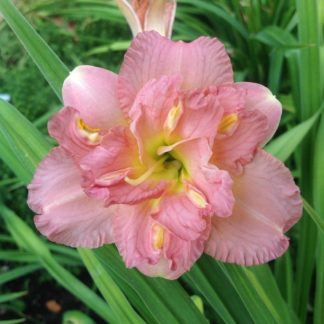 Lilled, Päevaliilia, Aed-päevaliilia, Lacy Dolly