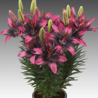 Lilled, Liilia, Aasia Liilia, Fantasiatic Serious Hotspot