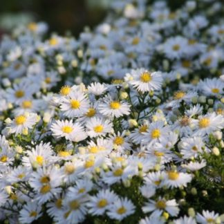 Lilled, Aster, Madal aster, Apollo