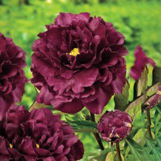 Lilled, Pojeng, Valgeõieline Pojeng, Black Beauty