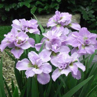Lilled, Iiris, Võhumõõk, Siberi Võhumõõk, Kita-No-Seiza