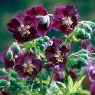 Lilled, Kurereha, Tõmmu kurereha, Samobor