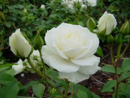 Peenraroos F 'White Symphony'